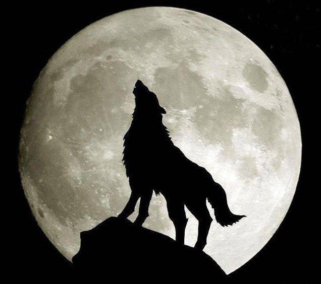 """蘭州有""""狼""""出沒 綠地約您與齊秦與狼共舞圖片"""